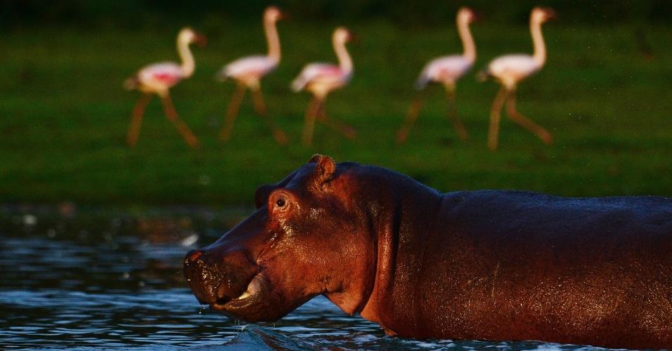 Hipopótamo passa por bando de flamingos no lago Oloidien, próximo a Naivasha, no Quênia