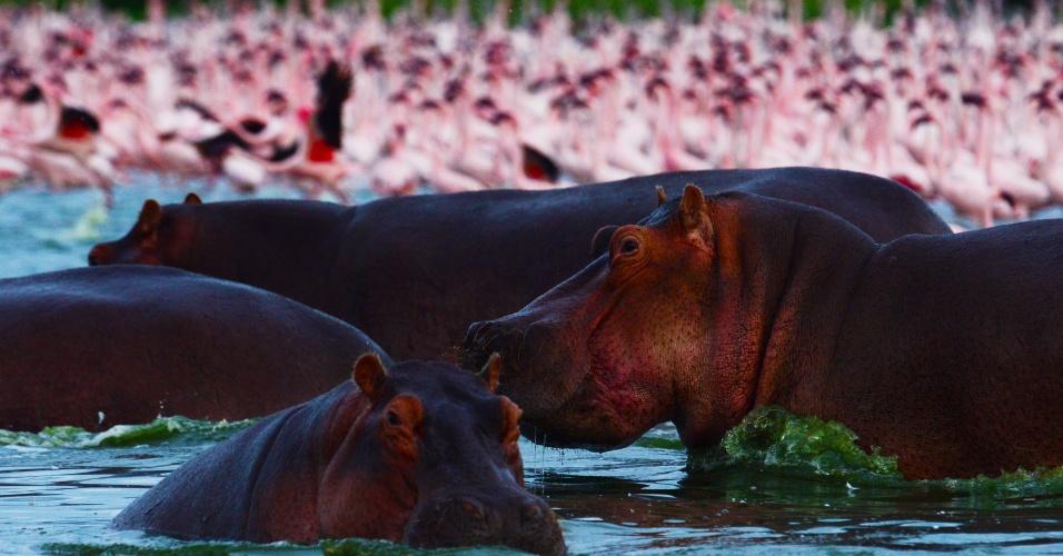 Hipopótamos passam por bando de flamingos no lago Oloidien, próximo a Naivasha, no Quênia