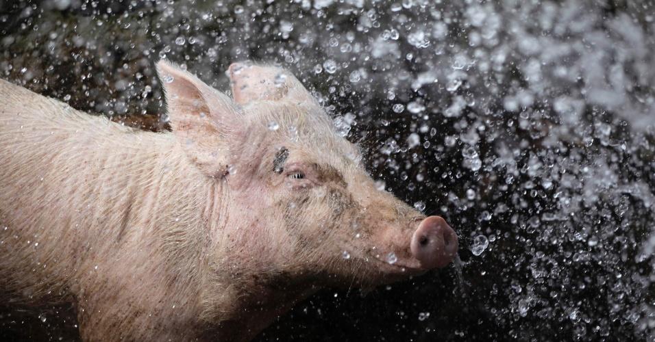 3.mai.2012 - Porco é lavado com água em seu curral em fazenda de Havana, em Cuba