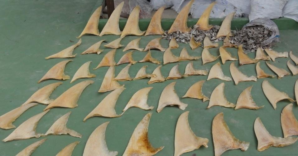 4.mai.2012 - O Ibama apreendeu 7,7 toneladas de barbatanas de tubarão em Belém, no Pará, a maior apreensão do produto no país. O material, que estava na câmara escondida de uma exportadora de pescado, seriam exportado para China. A empresa foi embargada e multada em R$2,7 milhões