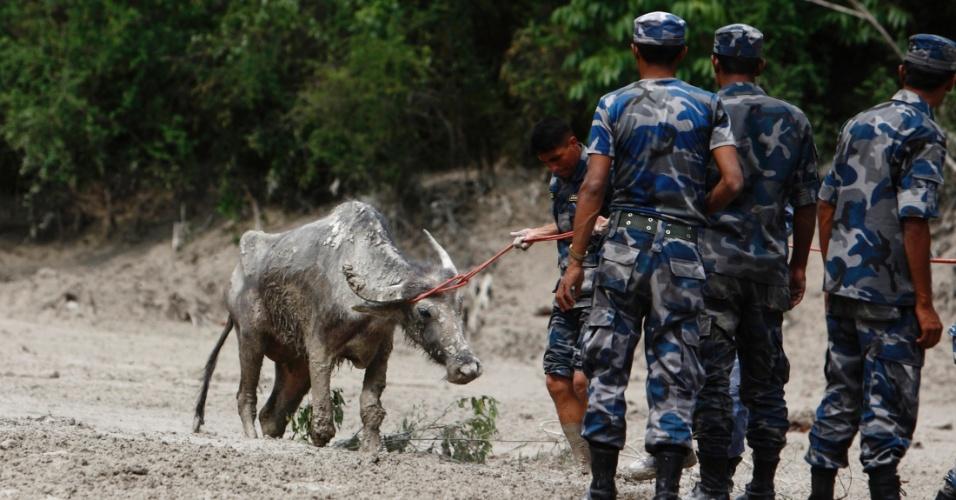 6.mai.2012 - Bombeiros tentam resgatar um búfalo preso em uma área que costumava ser uma pequena aldeia e que foi inundada por uma enchente causada por uma avalanche na cordilheira Annapurna. Pelo menos 17 pessoas, incluindo três estrangeiros, morreram por causa das enchentes que atingem o Nepal.