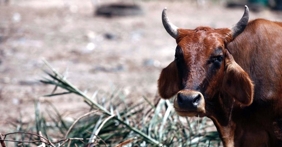 7.mai.2012 - Com a seca e a falta de alimentos, animais são alimentados com pindoba -nome popular de uma espécie de pal- em Feira de Santana, na Bahia