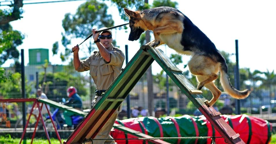 8.mai.2012 - Cão participa de competição de cães da Polícia Militar em Santa Catarina