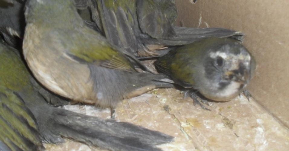 8.mai.2012 - Polícia Rodoviária Federal apreendeu em torno de 200 pássaros silvestres de três diferentes espécies (trinca-ferros, canários da terra e pintassilgos) na BR-116 em Campina Grande do Sul, região Metropolitana de Curitiba
