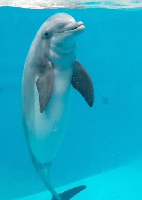 09.mai.2012 - Roxanne, um golfinho fêmea que está esperando filhote, nada no parque Boudewijn Seapark, em Bruges, na Bélgica