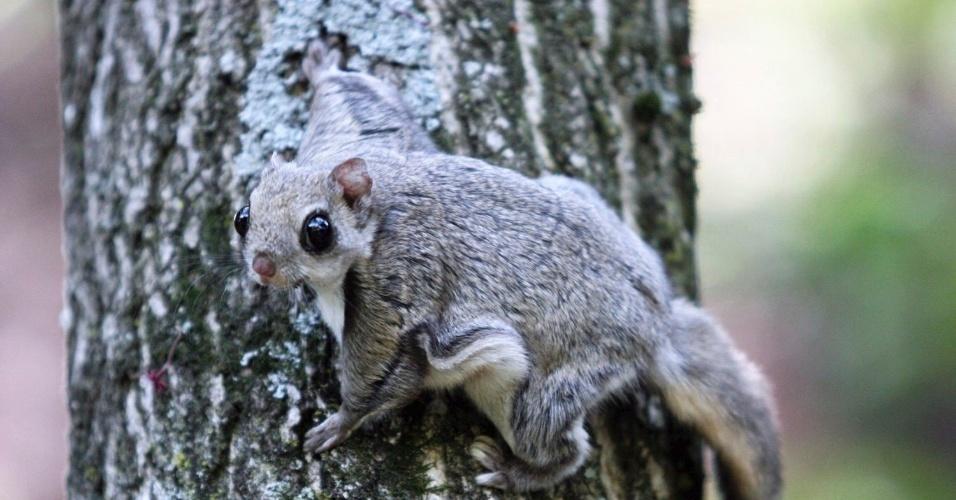 9.mai.2012 - Foto divulgada pelo Parque Nacional Mount Deokyu, no vale de Muju (Coreia do Sul), mostra esquilo pouco comum encontrado no local