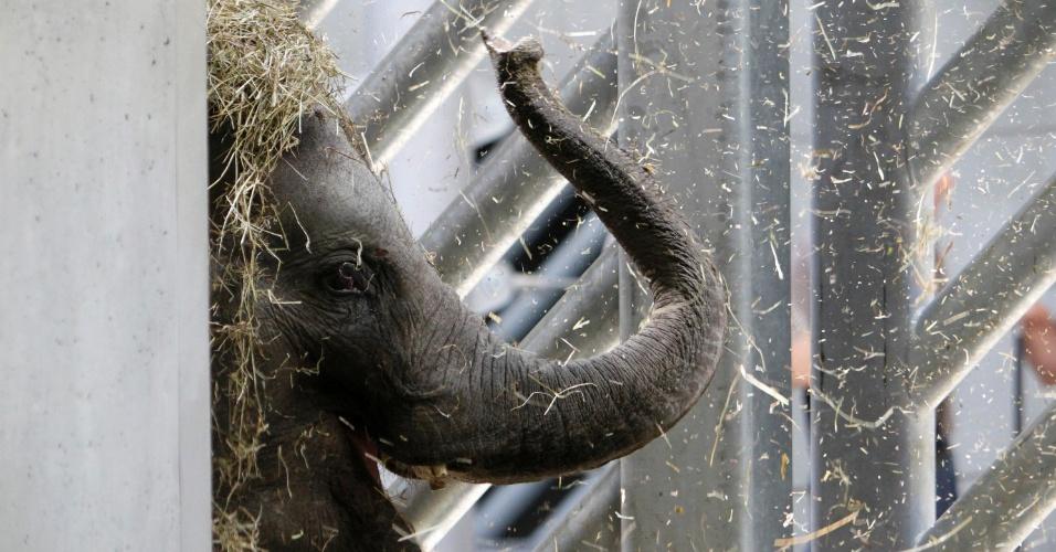 9.mai.2012 - Tonya brinca na sua nova jaula, no zoológico de Praga