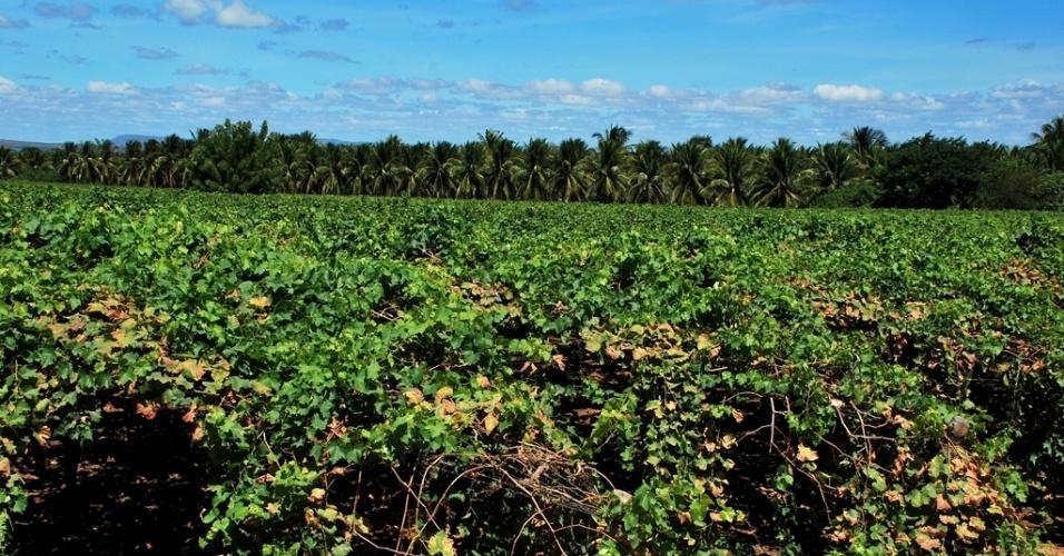 21.mai.2012 - Em Petrolândia (PE), produtores têm irrigação e comercializam uvas e coco mesmo em meio à estiagem no Nordeste