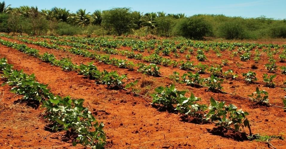 21.mai.2012 - Projeto de irrigação cria oásis em Petrolândia (PE) e garante sustento de produtores beneficiados por sistema no sertão