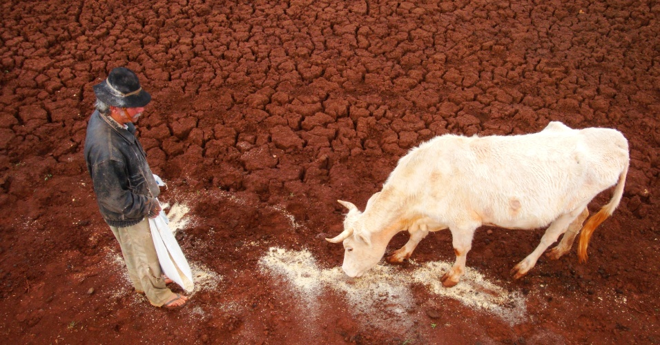25.mai.2012 - Animal bebe resto de água que sobrou nos campos de Joia, no noroeste do Rio Grande do Sul, que sofre os efeitos da seca desde novembro. Segundo estudo divulgado pelo governo federal, o Estado é líder nacional em decreto de emergência por estiagens