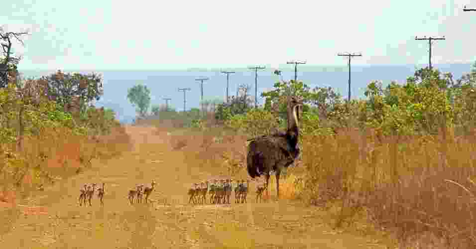 Ema (Rhea americana) com filhotes, no Parque Nacional das Emas/GO - André de Oliveira - Mineiros/GO