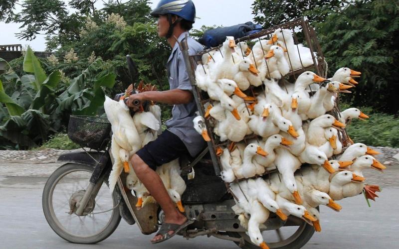 31.mai.2012 - Homem transporta nesta quinta-feira (31) vários patos em uma motocicleta na província de Nam Ha, próxima a Hanói, no Vietnã