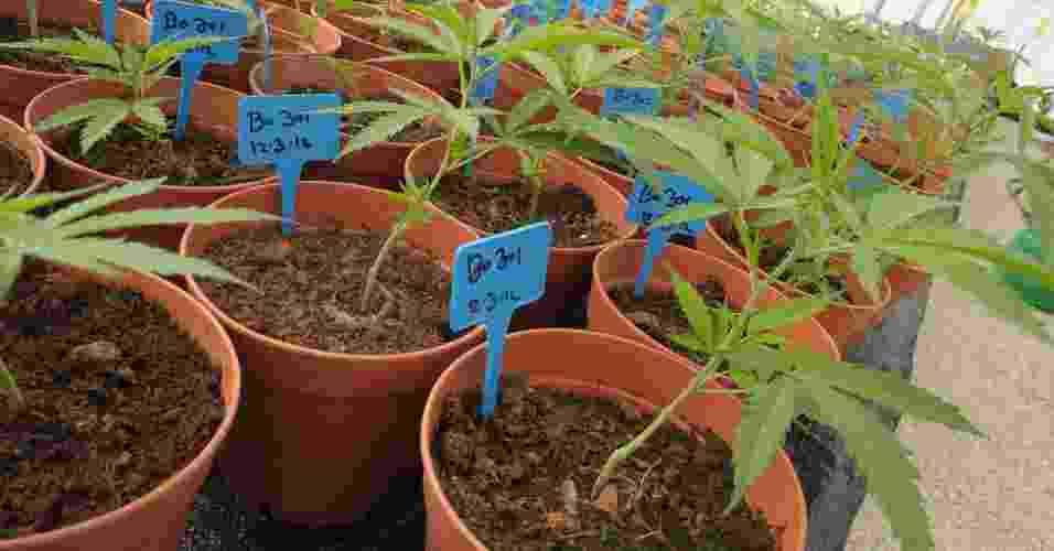 """2.mai.2012 - Cientistas da Universidade Hebraica de Jerusalém desenvolveram um tipo de maconha medicinal, neutralizando a substância THC, que gera os efeitos cognitivos e psicológicos conhecidos como """"barato"""" - Z. Klein/BBC"""