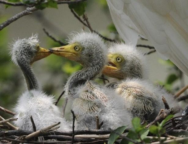 4.jun.2012 - Filhotes de garça são cuidados pelos pais em ninho na área de Guwahati, na Índia. Centenas de garças que constróem seus ninhos em árvores nesta região nesta época do ano