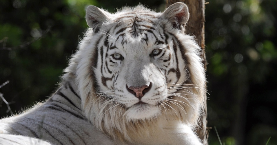 05.jun.2012 - Tigre siberiano aproveita o sol no zoológico de Amneville, na França