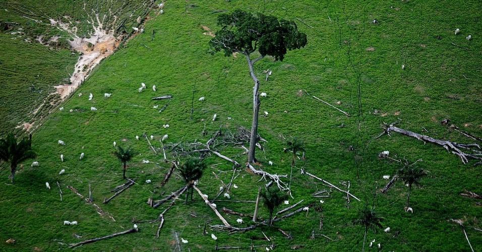 jan.2008 - Rebanho bovino, em Alta Floresta, no Mato Grosso município na lista dos maiores desmatadores da Amazônia em 2008