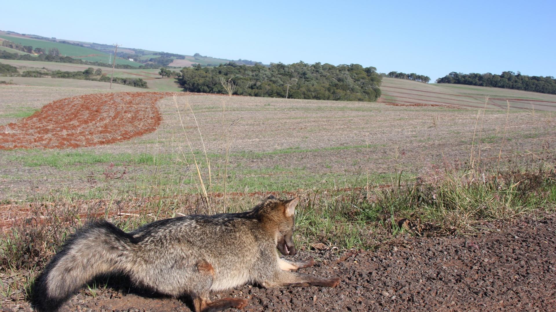 7.jun.2012 - Graxaim (tipo de cão silvestre) morre congelado em Getúlio Vargas (RS)