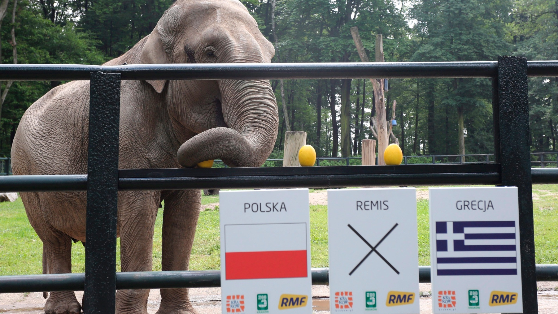 A elefanta Citta também mostrou personalidade e já escolheu um vencedor da primeira rodada. Para ela, a Polônia vencerá a Grécia na estreia da Euro.