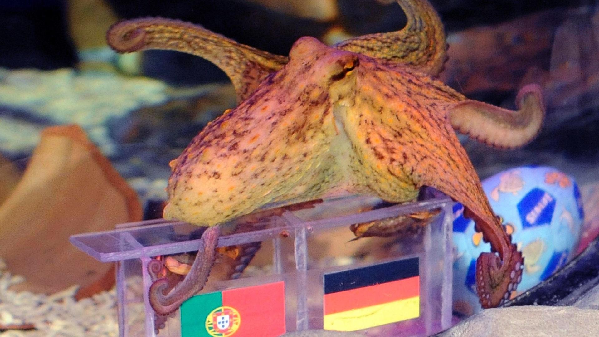 Assim como Paul, Paulus, que é alemão mas vive em Porto (POR), tem que escolher em seu aquário entre duas caixas de comida com as bandeiras dos países. Sua 'estreia', porém, não foi das melhores. Em sua primeira previsão, Paulus não deixou claro quem vencerá o duelo entre Alemanha e Portugal na primeira rodada.