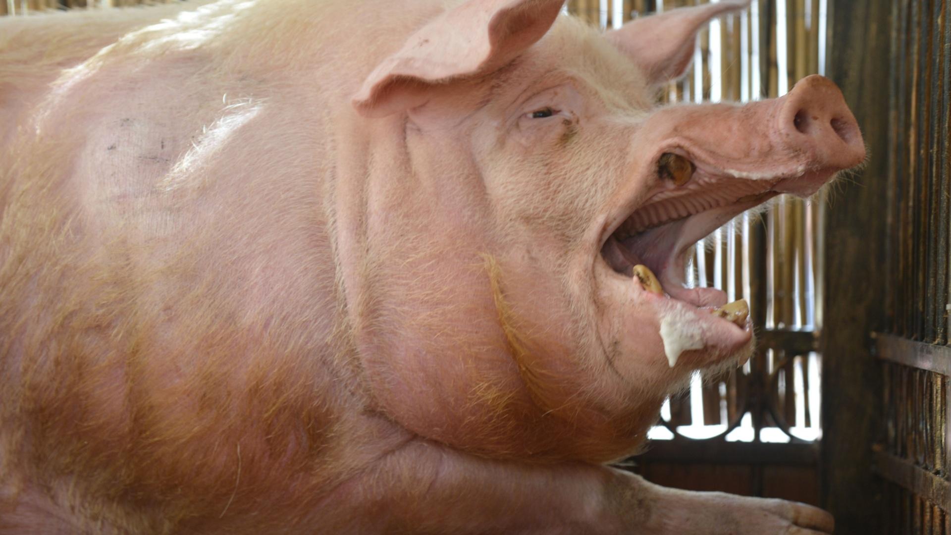 Este é o carismático porco Funtik, outro candidato a vidente da Eurocopa