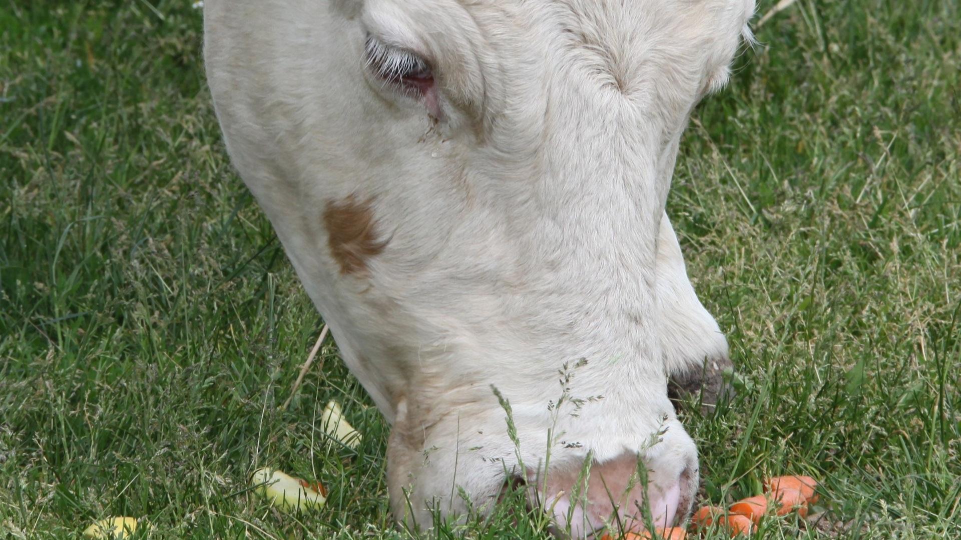 Os métodos da vaca Yvonne ainda não foram revelados, mas a julgar por sua história, as previsões da ruminante devem ser as mais esperadas da Euro 2012