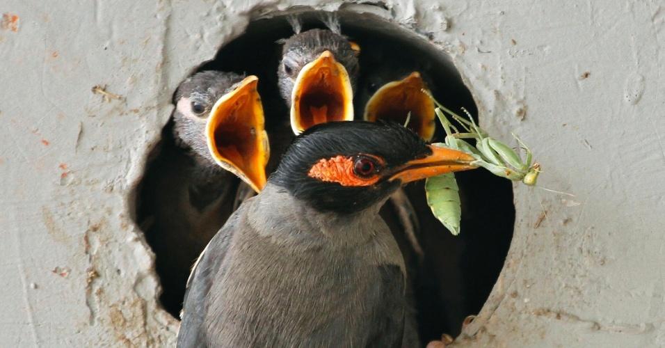 8.jun.2012 - Mainá indiano leva gafanhoto no bico para alimentar filhotes em ninho construído em muro de Nova Déli, na Índia