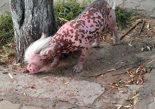 """Com topete moicano e pele cor-de-rosa, """"pet"""" misterioso assusta moradores de cidade chinesa"""