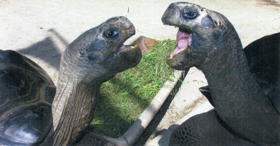 13.jun.2012 - Tartarugas gigantes de centenas de anos vivem juntas há 36 anos em zoo da Austrália