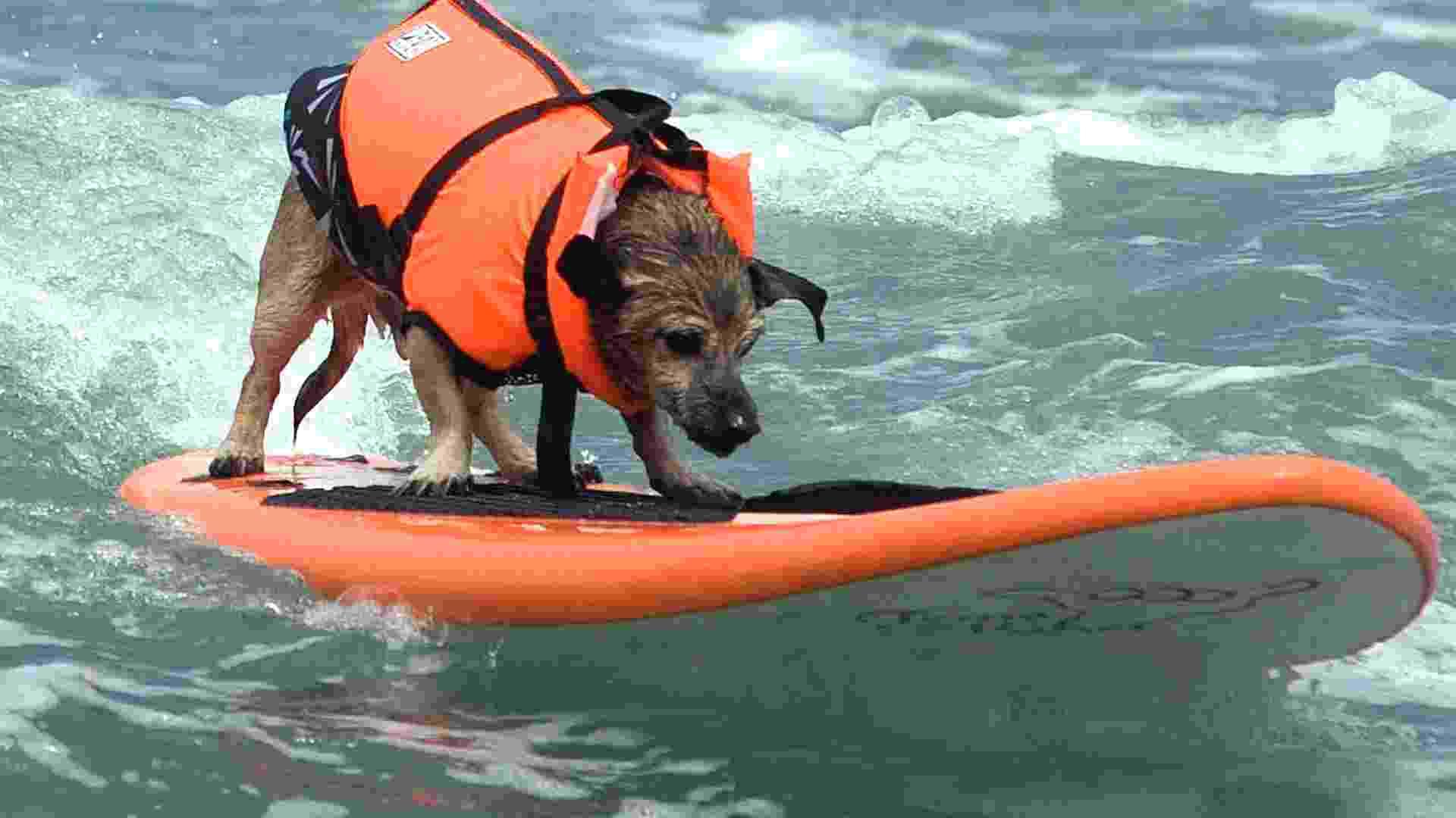 17.jun.2012 - Cães participam da sétima edição do concurso canino de surf realizado todos os anos na Imperial Beach, em San Diego (Califórnia, EUA) - EFE