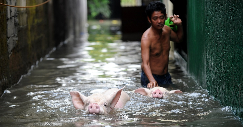 18.jun.2012 - Homem retira porcos em rua alagada de Manila, capital das Filipinas