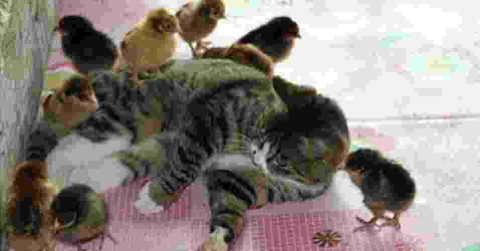 """18.jun.2012 - Niu Niu é um exemplo: essa felina da China resolveu adotar 30 pintinhos recém-nascidos e órfãos da fazenda em que vive. Ela sim tem senso de responsabilidade e desbanca o rótulo de """"independente"""" dos gatos - Reprodução/Orange News"""