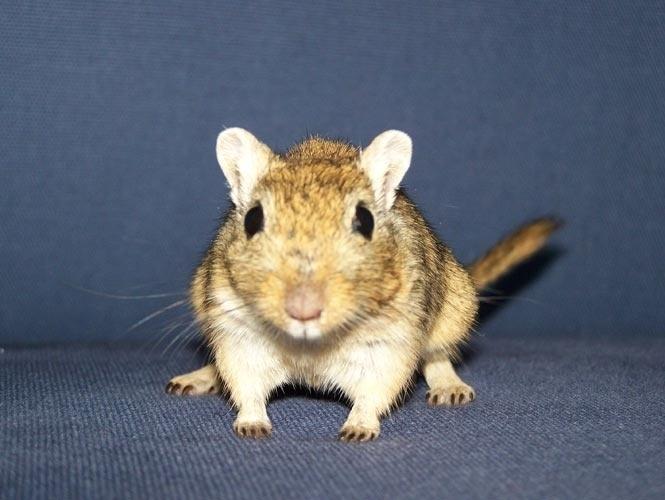 """""""Meriones unguiculatus"""" é o nome científico dos chamados ratos do deserto e significa pequeno guerreiro com garras. Donos de um temperamento dócil e sociável, os gerbos podem ser adotados como animais de estimação e por seu faro apurado são utilizados para detectar drogas em bagagens nos aeroportos."""