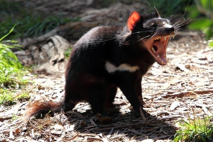 O diabo da Tasmânia é carnívoro e parece bastante agressivo, mas é um animal tímido. Vive na Tasmânia, uma ilha na Austrália. Ganhou esse nome por causa do rosnado assustador e de suas poderosas mandíbulas. Ficou mais famoso quando foi retratado como Taz, um popular e não muito verossímil desenho animado.