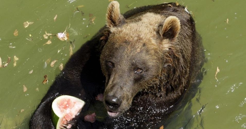 22.jun.2012 - Urso come melancia na água em dia de calor no zoo Biopark, em Roma (Itália)