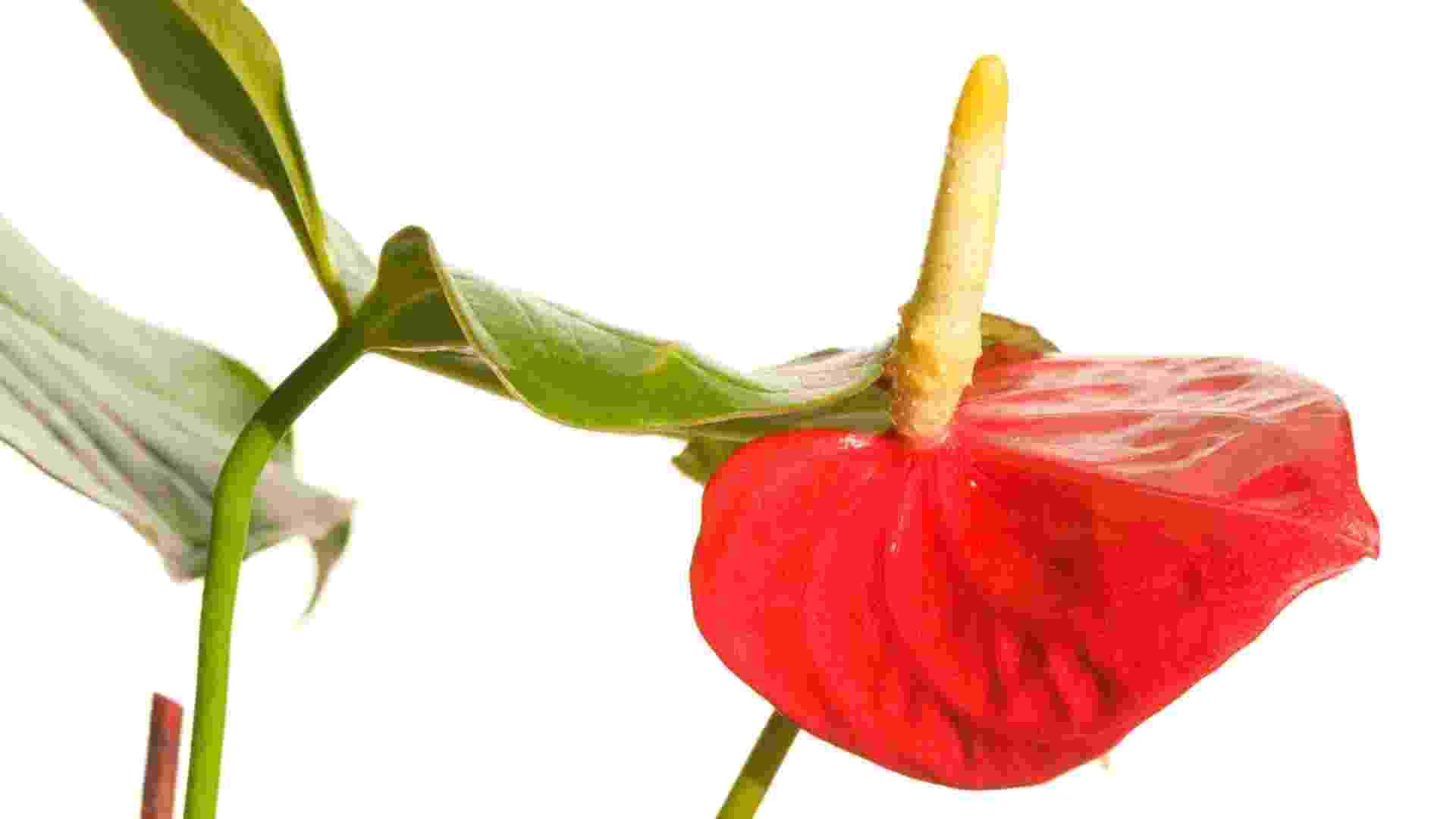 Comum em projetos de paisagismo, o antúrio (Anthurium andraeanum) apresenta boa durabilidade mesmo quando utilizado como flor de corte. Se bem cuidado, pode durar até duas semanas - até as variedades brancas, que são mais sensíveis - Getty Images
