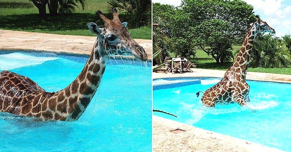 27.jun.2012 - Monduli, uma girafa macho de três anos de idade e quatro metros de altura que acha que é humana, toma banho na piscina de resort na Tanzânia