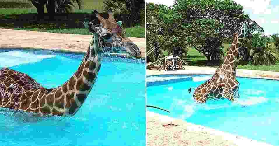 27.jun.2012 - Monduli, uma girafa macho de três anos de idade e quatro metros de altura que acha que é humana, toma banho na piscina de resort na Tanzânia - Reprodução/Daily Mail