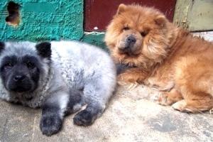 "O filhote de Chow-Chow ""panda"""