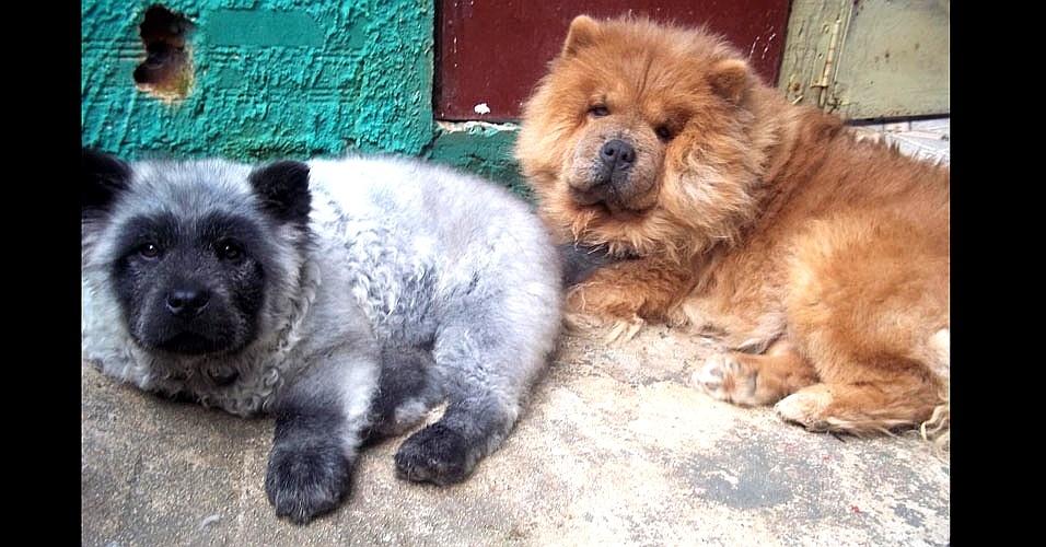 27.jun.2012 - O nascimento de um filhote de Chow-chow chamou a atenção da dona em Colombo, no Paraná, pois o filhote tem o corpo cinza e o focinho e as patas pretas