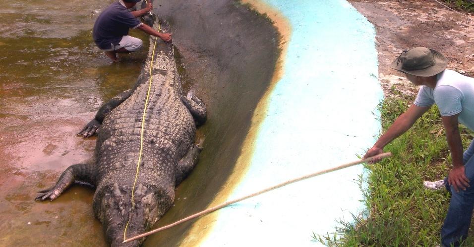2.jun.2012 - Um crocodilo de água salgada capturado em setembro d no sul das Filipinas foi proclamado nesta segunda-feira (2) o maior exemplar em cativeiro do mundo, segundo o Livro Guinness dos recordes.