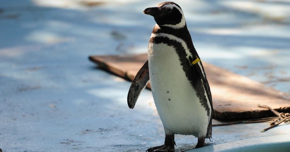10.jun.2012- O único centro de recuperação de animais silvestres (Cetas) de Santa Catarina, em Florianópolis, recebe uma média de duas mil aves por ano, como este pinguim simpático
