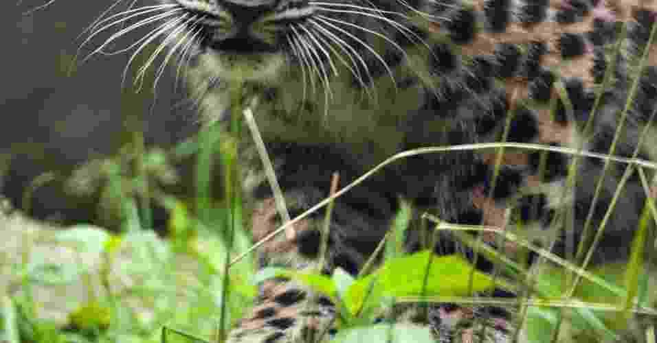 11.jul.2012 - Leopardo-de-amur de apenas três meses de vida, com o nome de Argoun, passeia pela primeira vez por sua jaula nesta quarta-feira (11) no zoológico de Mulhouse, na França - Sebastien Bozon/AFP