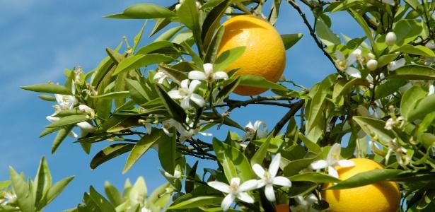 A laranjeira frutifica praticamente ao longo do ano todo, porém mais intensamente de abril a setembro - Getty Images