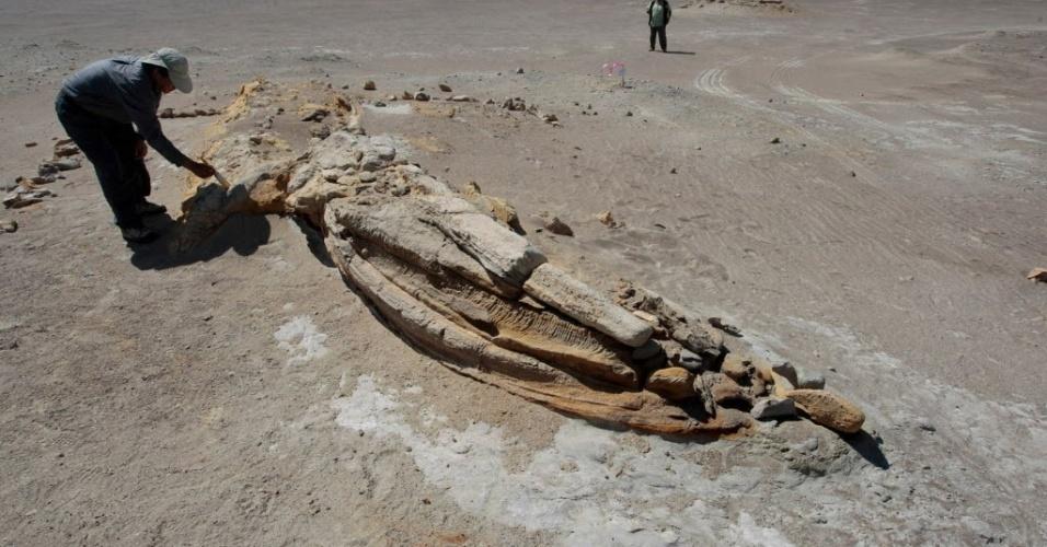 13.jul.2012 - Arqueólogo limpa os restos fossilizados de uma baleia no deserto de Ocucaje, a 300 quilômetros de Lima, no Peru. Os cientistas querem preservar o local, um enorme cemitério de baleias, onde já foram encontrados restos de mais de 15 animais, que viveram de 3 a 20 milhões de anos na região