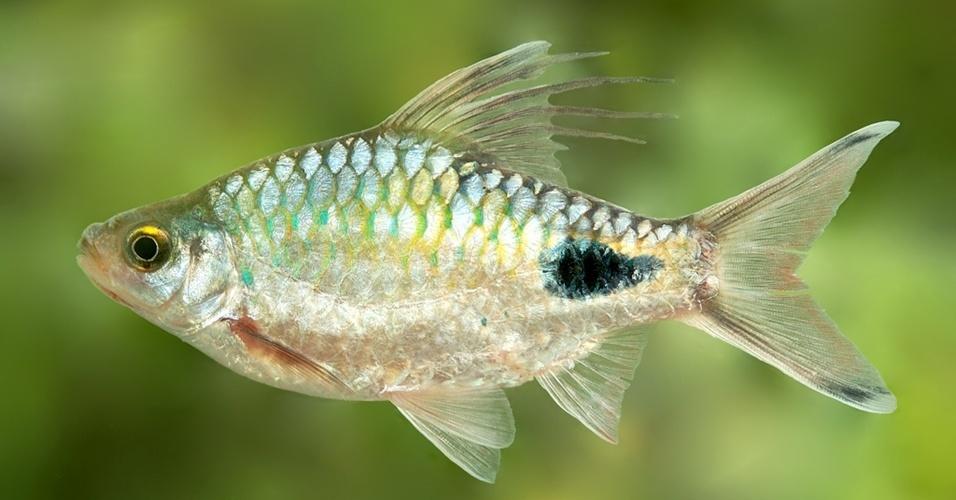 16.jul.2012 - Pesquisadores do Sri Lanka descobriram um novo gênero de peixe composto de nove espécies, o Singhala Dawkinsia. Encontrado apenas no sul da Ásia, a principal característica do animal são os longos filamentos na barbatana dorsal dos machos. O novo gênero de peixe de água doce foi nomeado em homenagem ao biólogo evolucionista e ateu Richard Dawkins