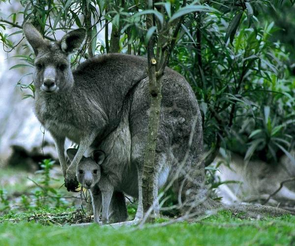 Canguru é um símbolo da fauna australiana e pode ser encontrado nas regiões de planície
