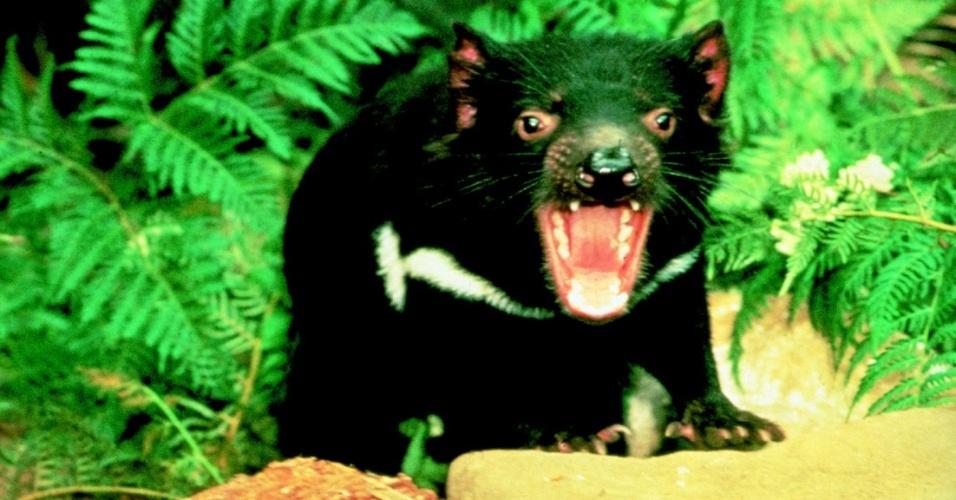 Demônio da Tasmânia, mamífero nativo da ilha da Tasmânia, no sul da Austrália