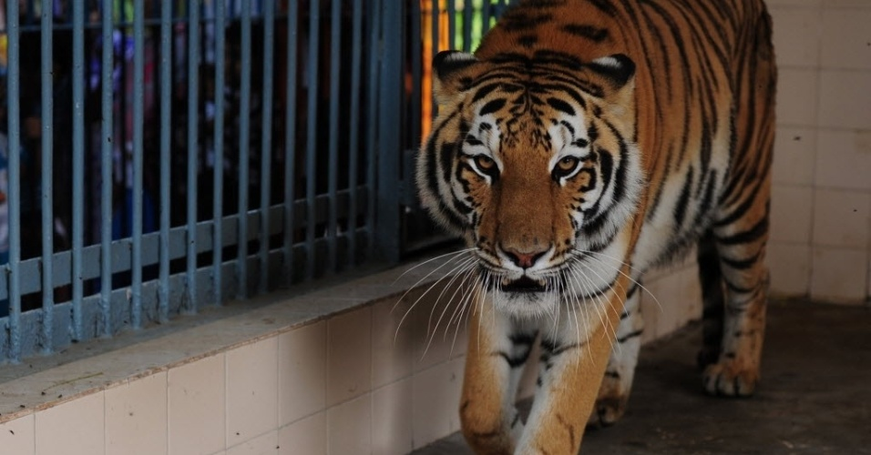 17.jul.2012 - Um dos dois tigres de bengala, recém-chegado da Bélgica, anda em uma jaula do zoológico municipal de Karachi, no Afeganistão