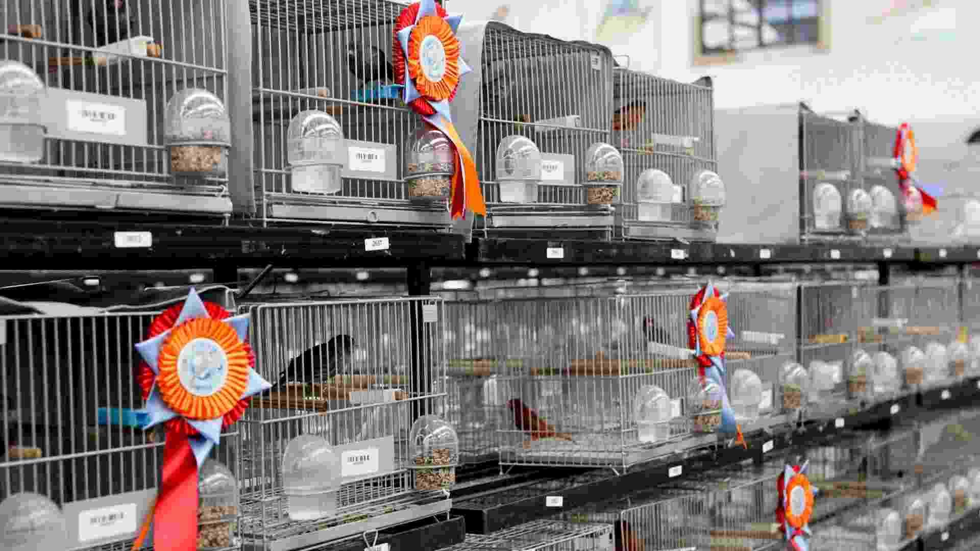 19.jul.2012 - Campeonato Mundial reúne diversas espécies de pássaros em Itatiba (SP) - Fernando Donasci/UOL