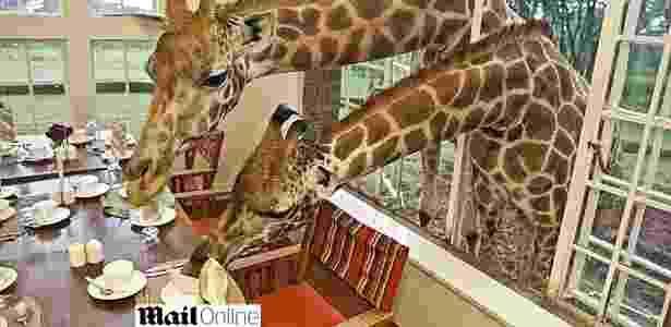Já pensou dividir a mesa do café com pessoas, digo, com girafas assim? - Reprodução/Daily Mail